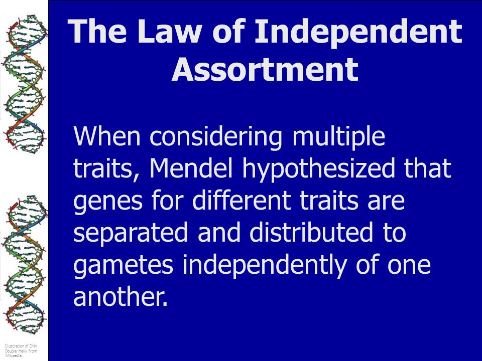 The Law of Independent Assortment