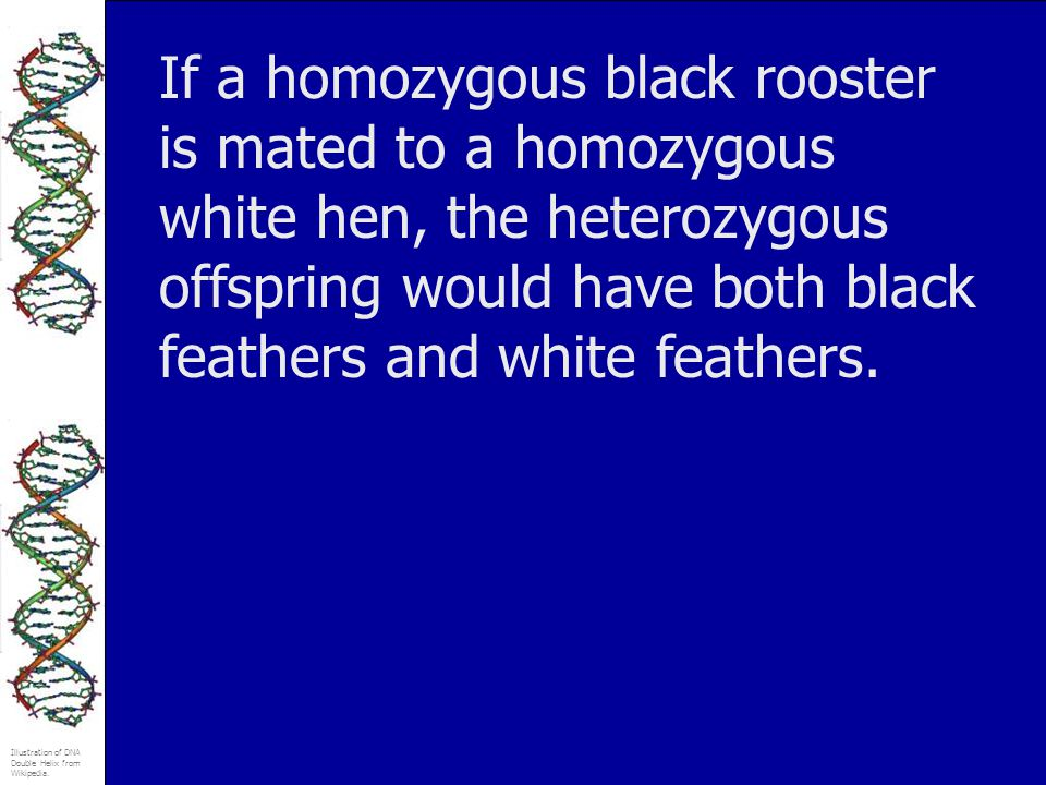 If a homozygous black rooster is mated to a homozygous white hen, the heterozygous offspring would have both black feathers and white feathers.