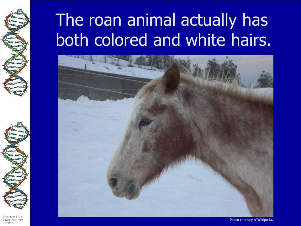 The roan animal actually has both colored and white hairs.