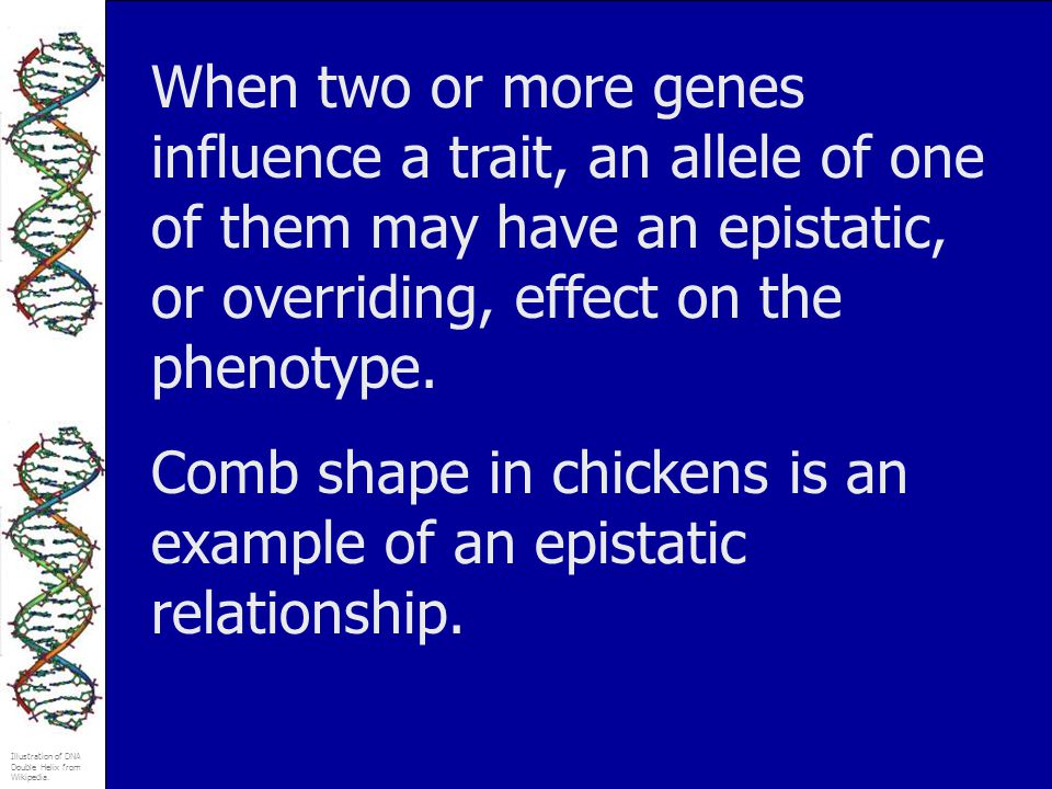 When two or more genes influence a trait, an allele of one of them may have an epistatic, or overriding, effect on the phenotype.