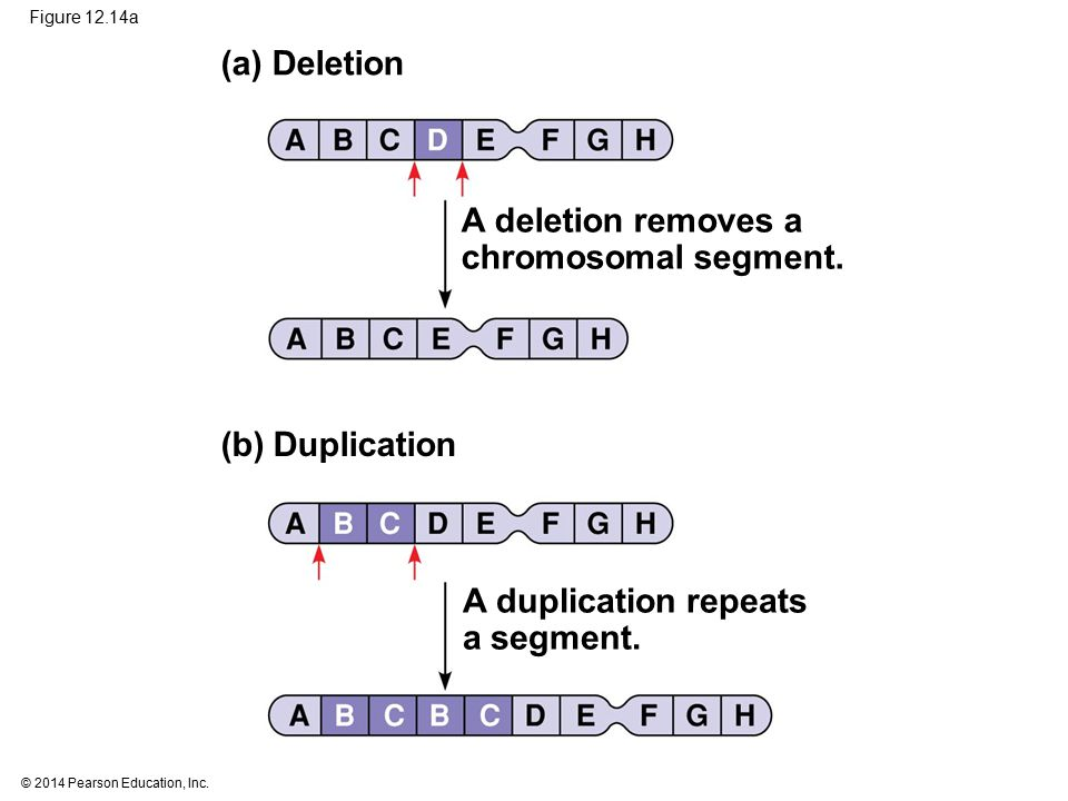 (a) Deletion A deletion removes a chromosomal segment. (b) Duplication