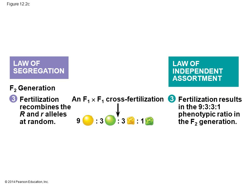 An F1  F1 cross-fertilization 3 Fertilization results in the 9:3:3:1