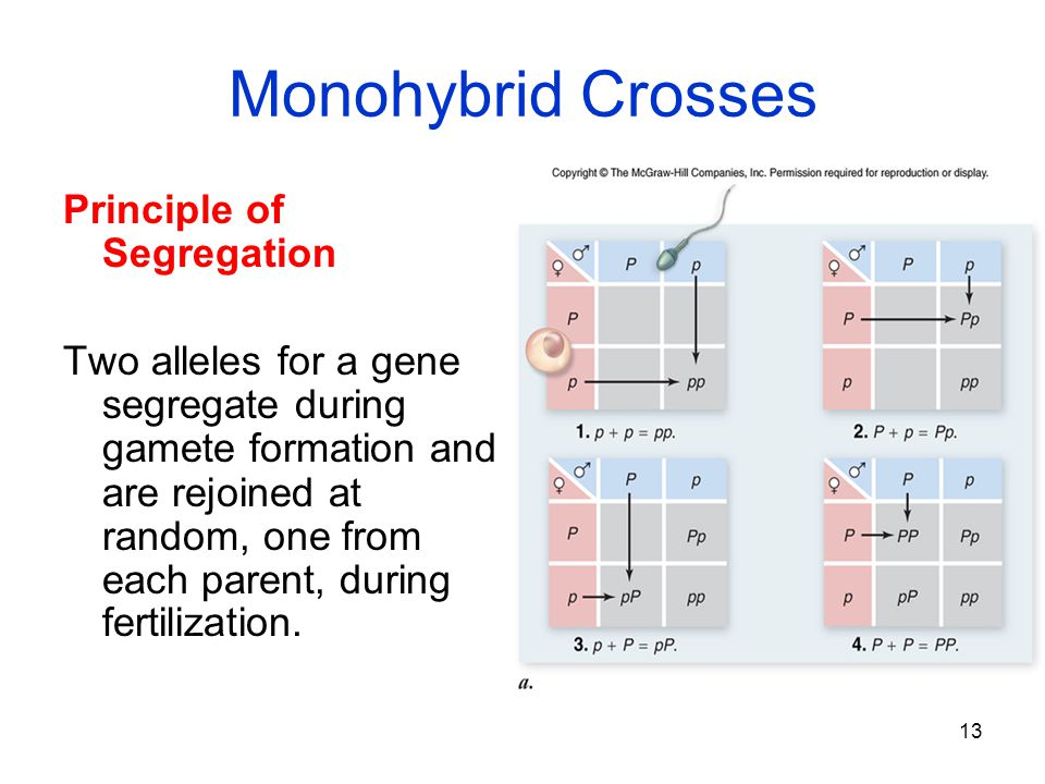 Monohybrid Crosses Principle of Segregation