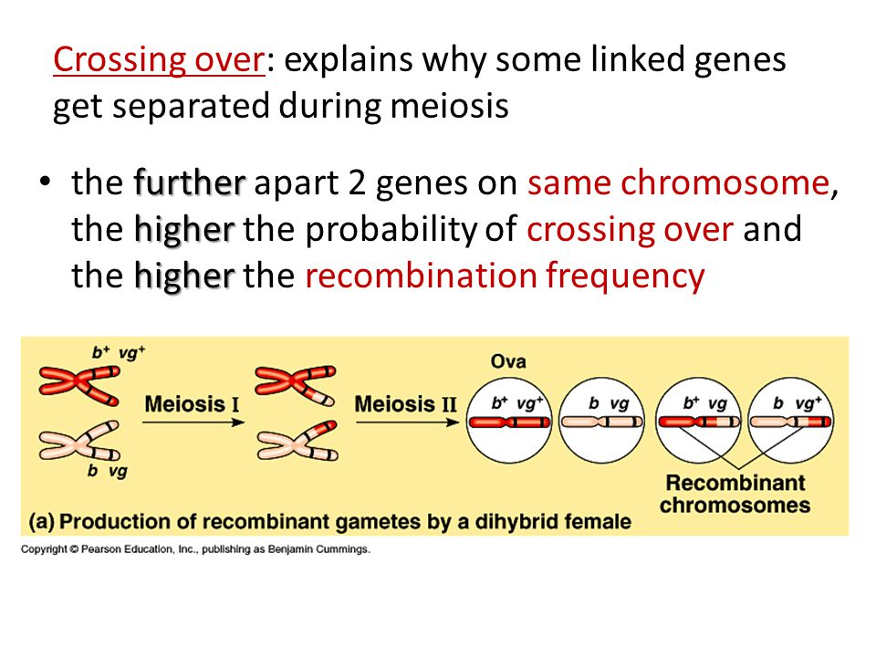 Crossing over: explains why some linked genes get separated during meiosis