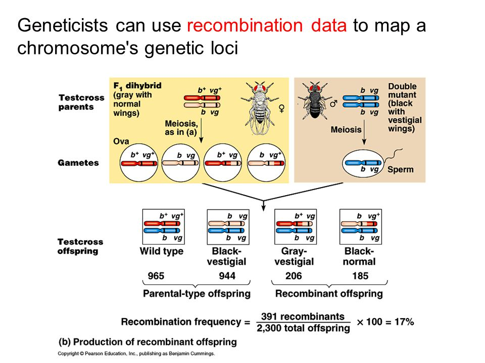 Geneticists can use recombination data to map a chromosome s genetic loci
