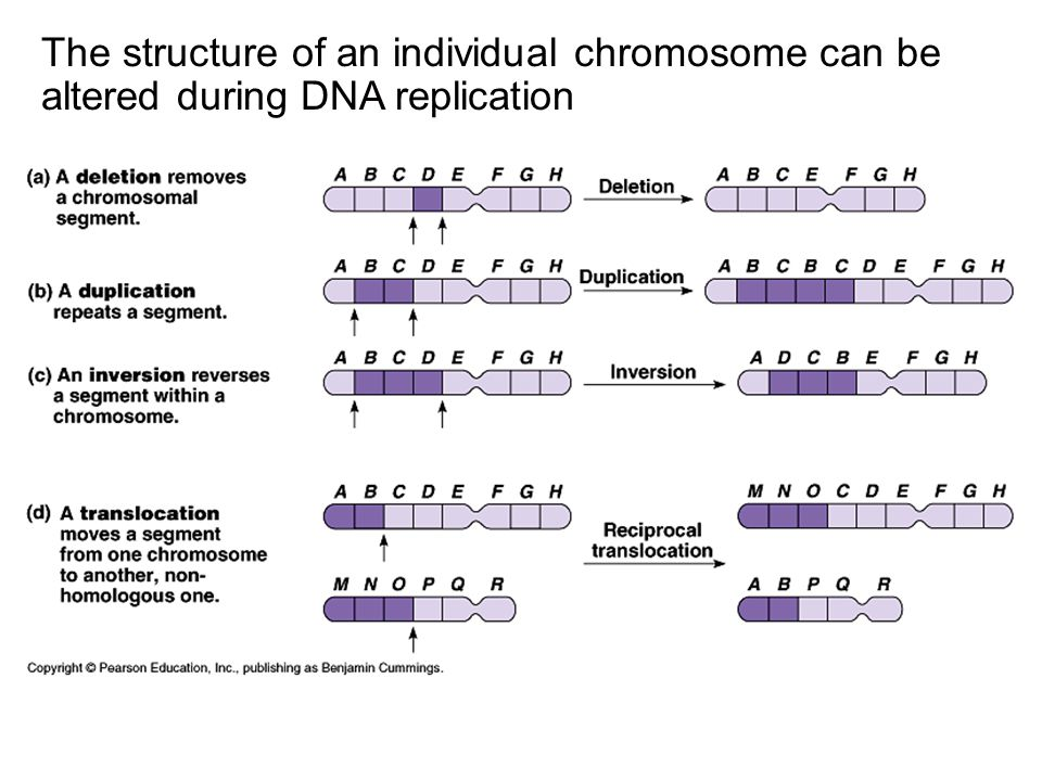 The structure of an individual chromosome can be altered during DNA replication
