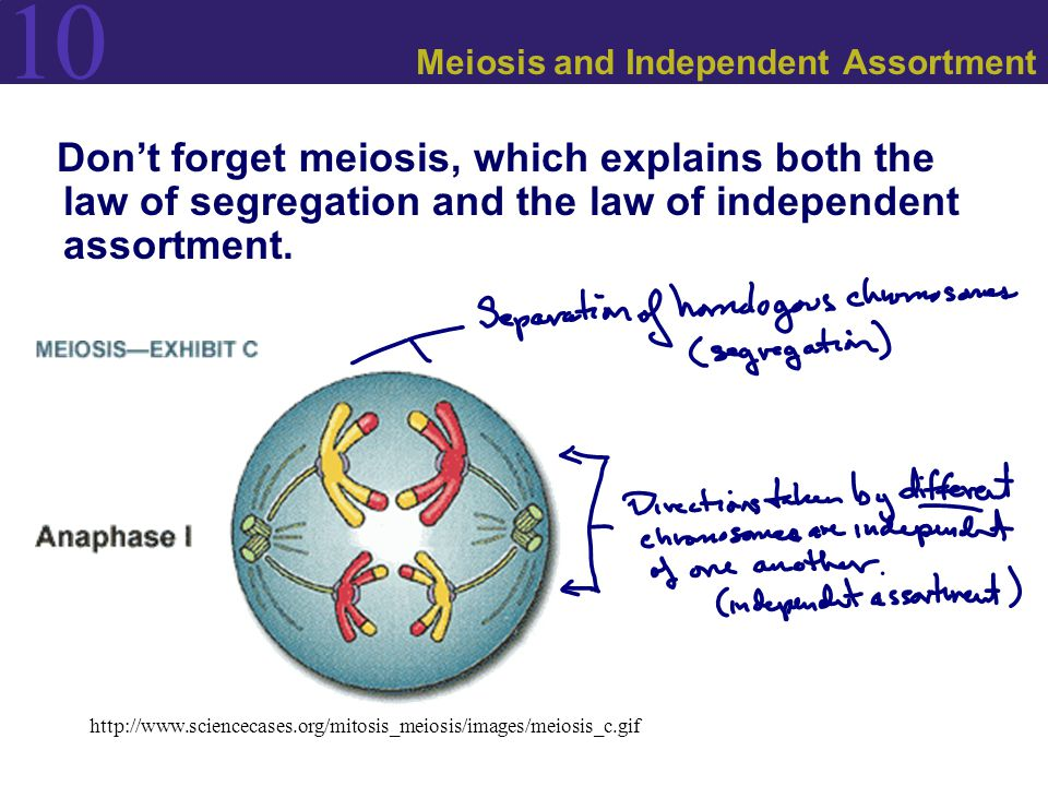 relationship between mendels law of independent assortment and meiosis