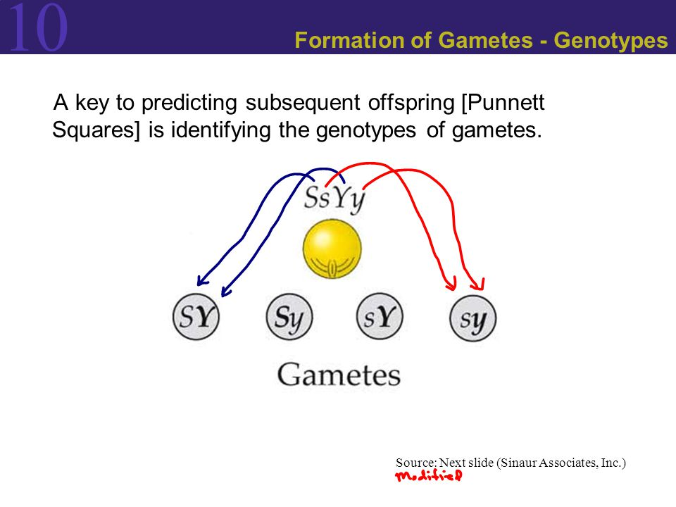Formation of Gametes - Genotypes