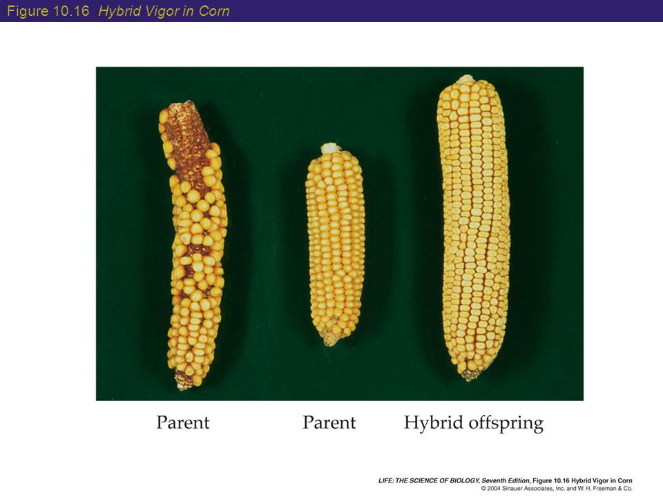 Figure 10.16 Hybrid Vigor in Corn