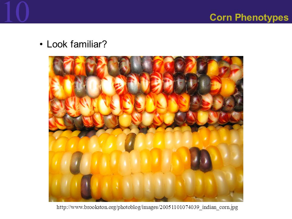 Corn Phenotypes Look familiar