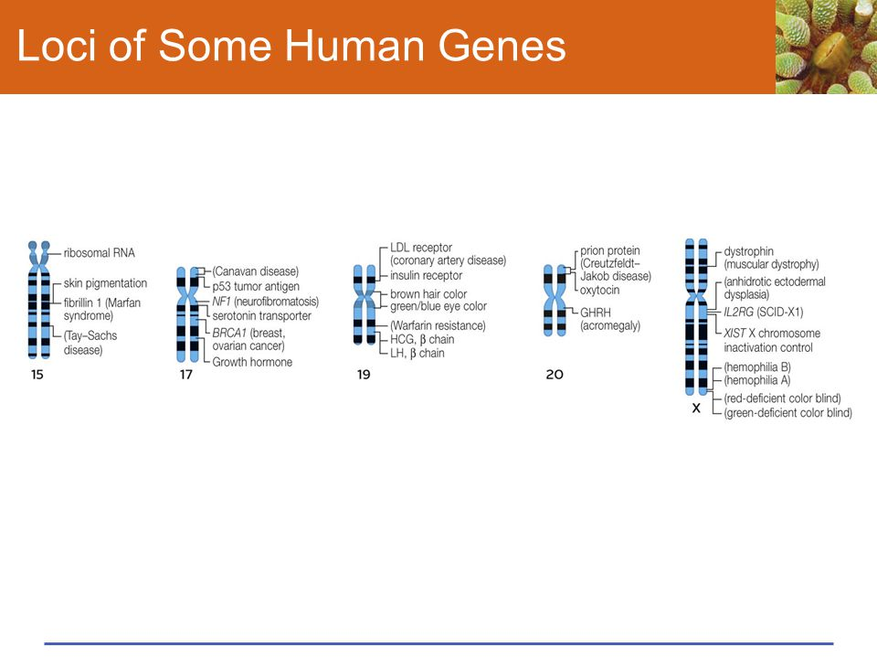 Loci of Some Human Genes