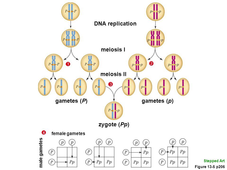 DNA replication meiosis I gametes (p) meiosis II gametes (P)