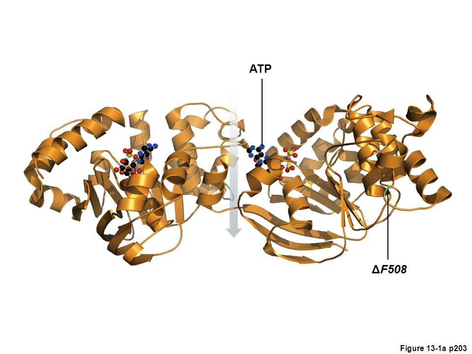 ATP Figure 13.1 Cystic fibrosis. Left, model of the CFTR protein. The parts.