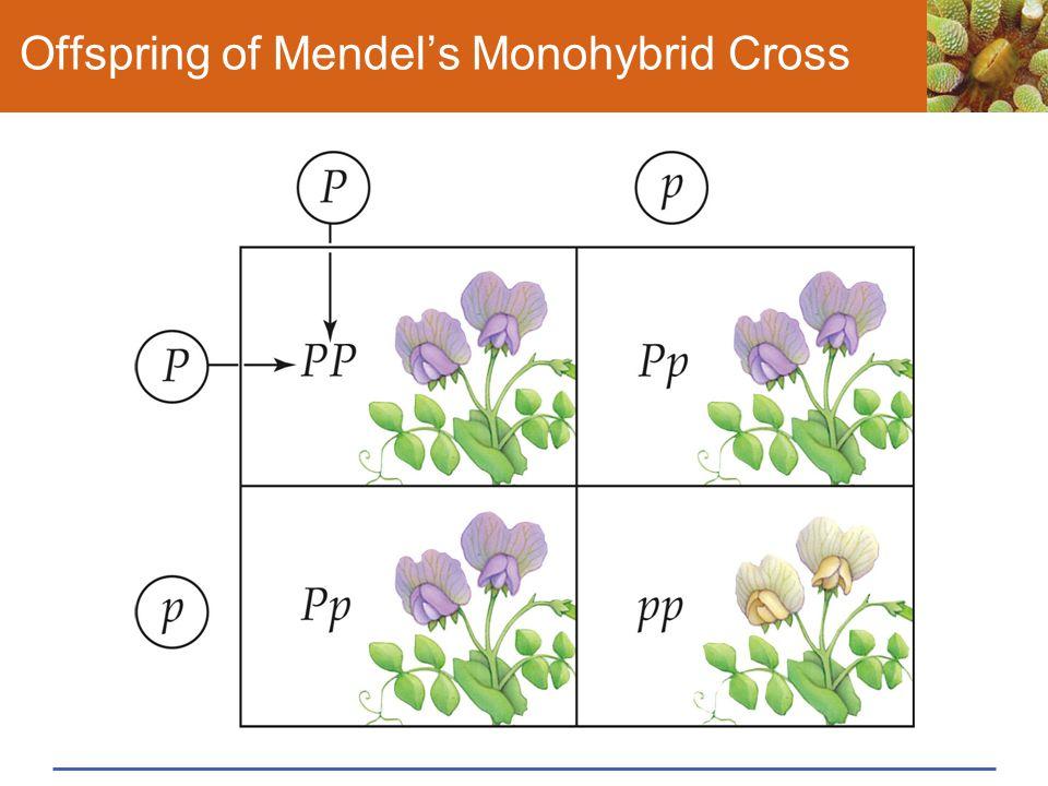 Offspring of Mendel's Monohybrid Cross