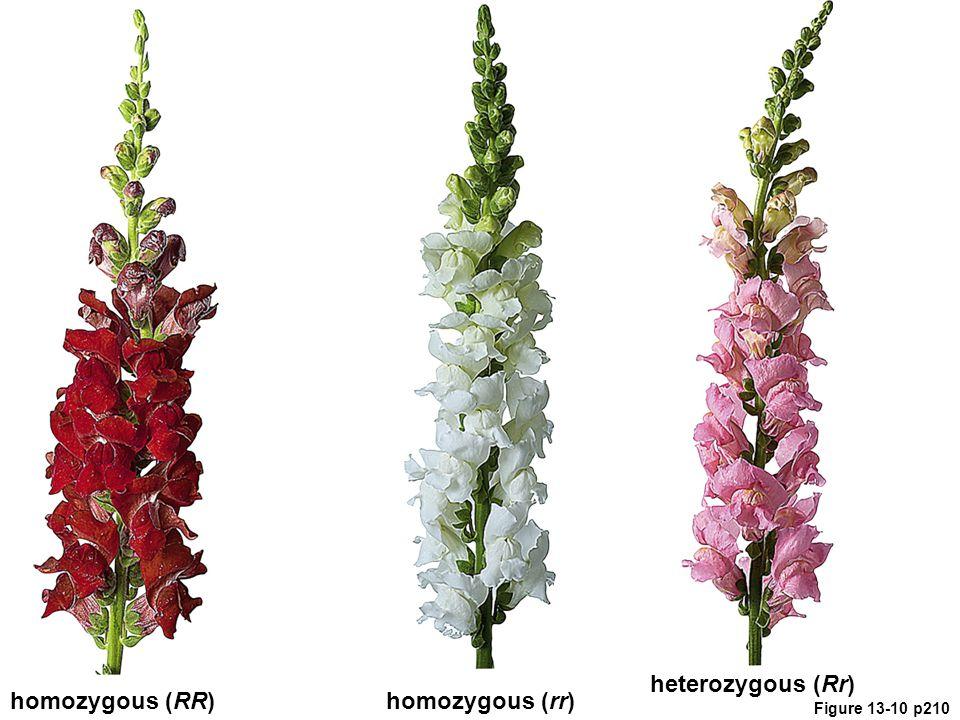 heterozygous (Rr) homozygous (RR) homozygous (rr)