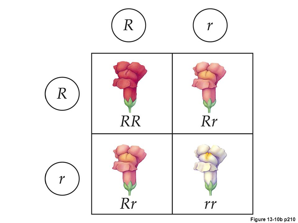 Figure 13.10 Animated Incomplete dominance in heterozygous (pink) snapdragons. An allele that affects red pigment is paired with a white allele.