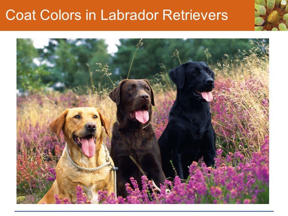 Coat Colors in Labrador Retrievers