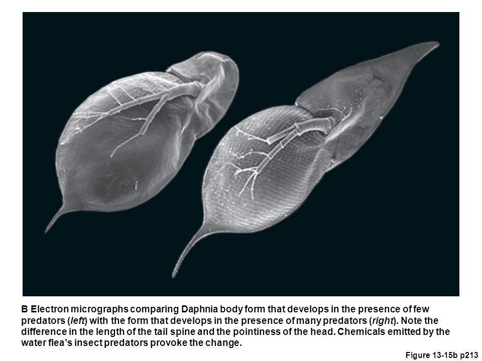 water flea's insect predators provoke the change.