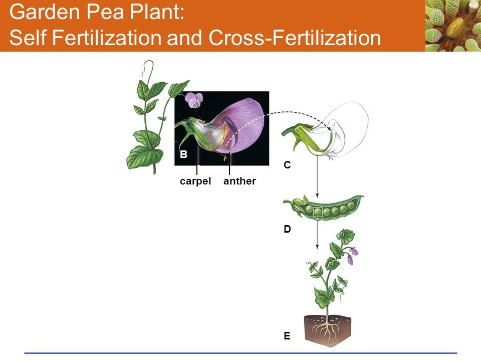 Garden Pea Plant: Self Fertilization and Cross-Fertilization