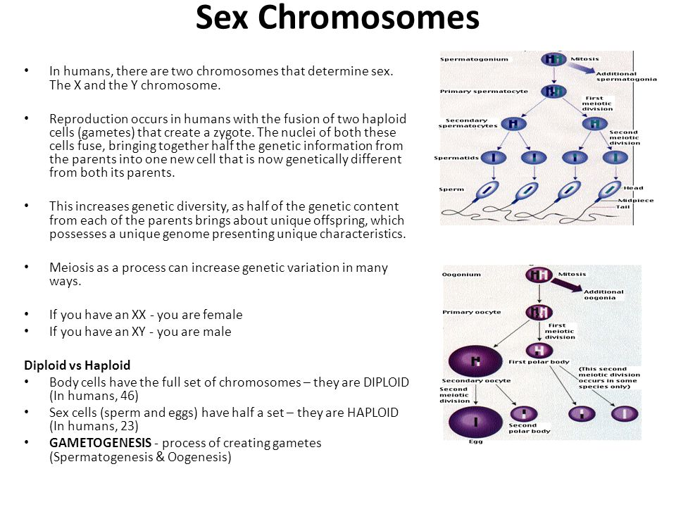 Sex Chromosomes In humans, there are two chromosomes that determine sex. The X and the Y chromosome.
