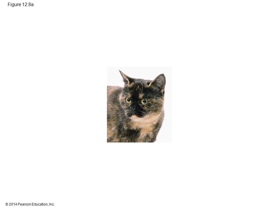 Figure 12.8a Figure 12.8a X inactivation and the tortoiseshell cat (photo) 26