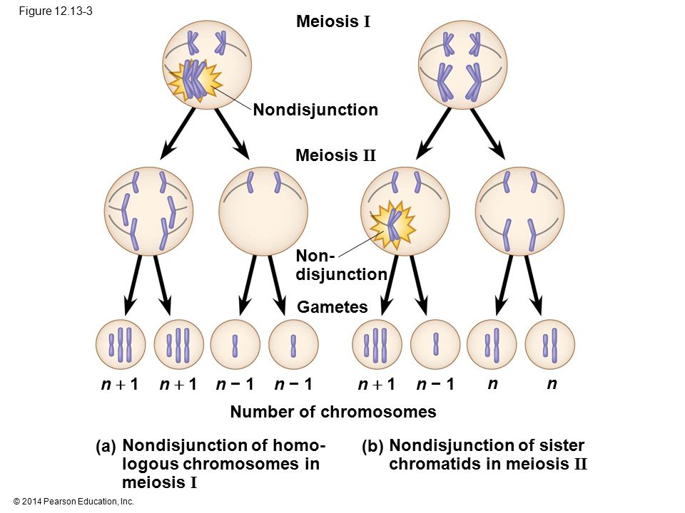 Nondisjunction of homo- logous chromosomes in meiosis I (b)