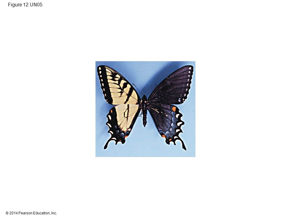 Figure 12.UN05 Figure 12.UN05 Test your understanding, question 10 (tiger swallowtail gynandromorph)
