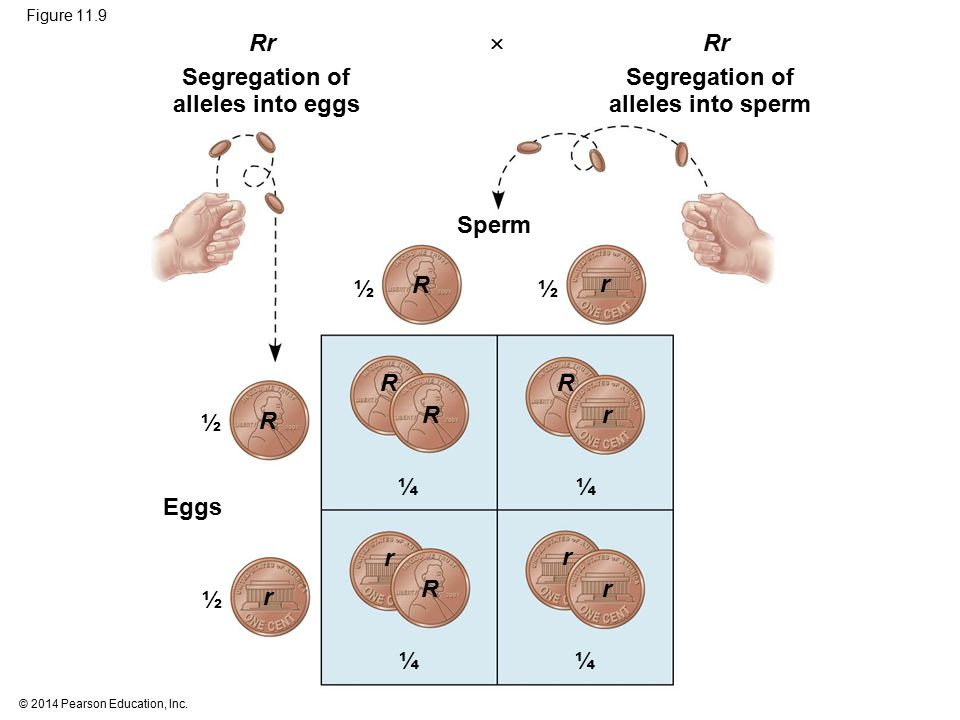 Segregation of alleles into eggs Segregation of alleles into sperm