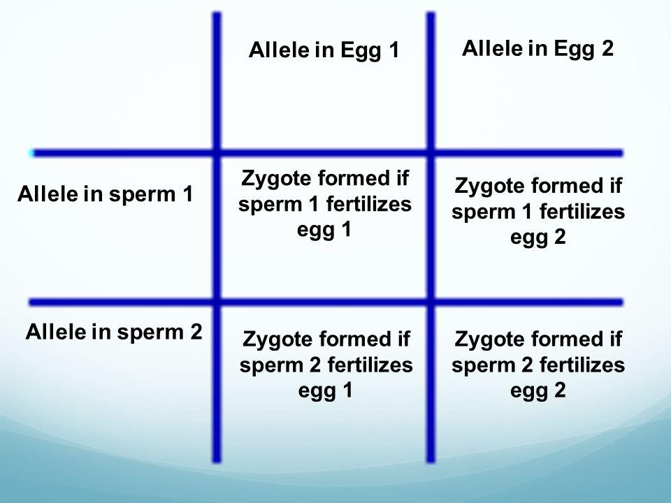 Allele in Egg 1 Allele in Egg 2 Allele in sperm 1 Allele in sperm 2