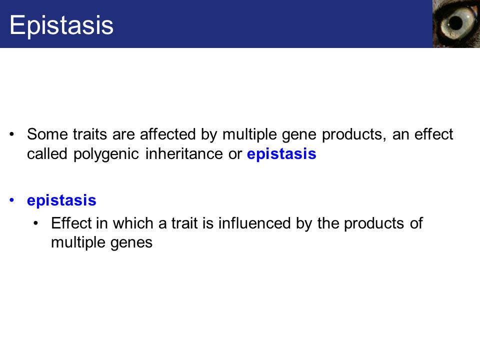 Epistasis Some traits are affected by multiple gene products, an effect called polygenic inheritance or epistasis.