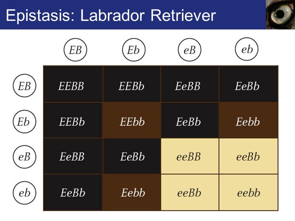 Epistasis: Labrador Retriever