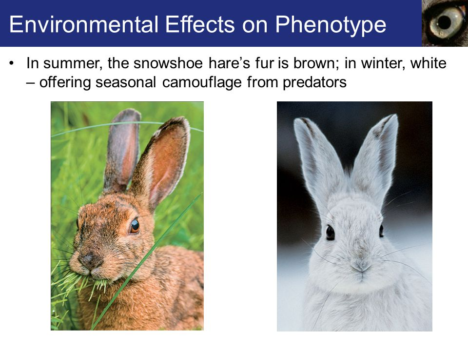 Environmental Effects on Phenotype