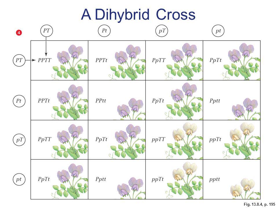A Dihybrid Cross
