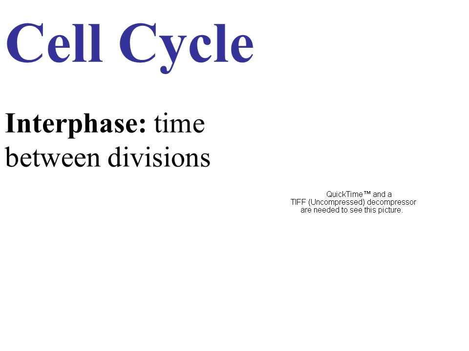 Cell Cycle Interphase: time between divisions