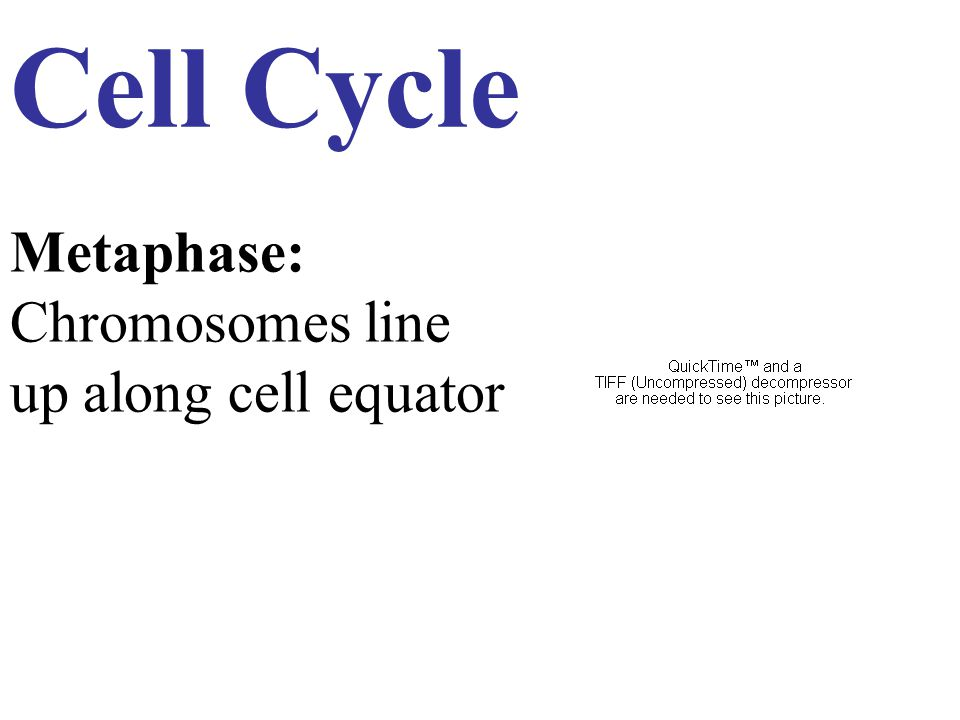 Cell Cycle Metaphase: Chromosomes line up along cell equator