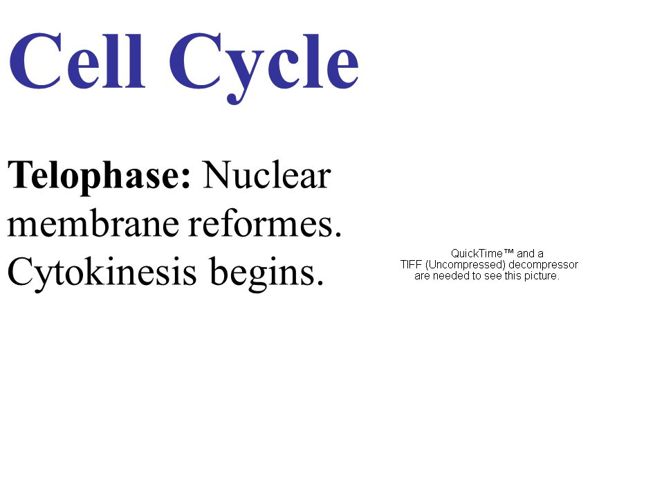 Cell Cycle Telophase: Nuclear membrane reformes. Cytokinesis begins.