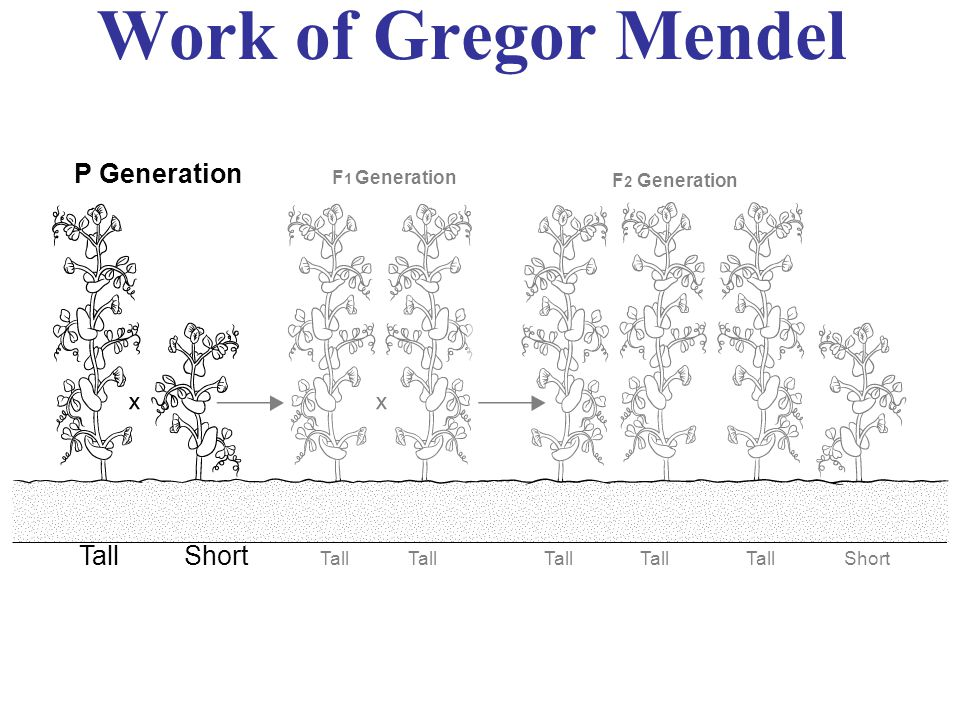 Work of Gregor Mendel P Generation Tall Short F1 Generation