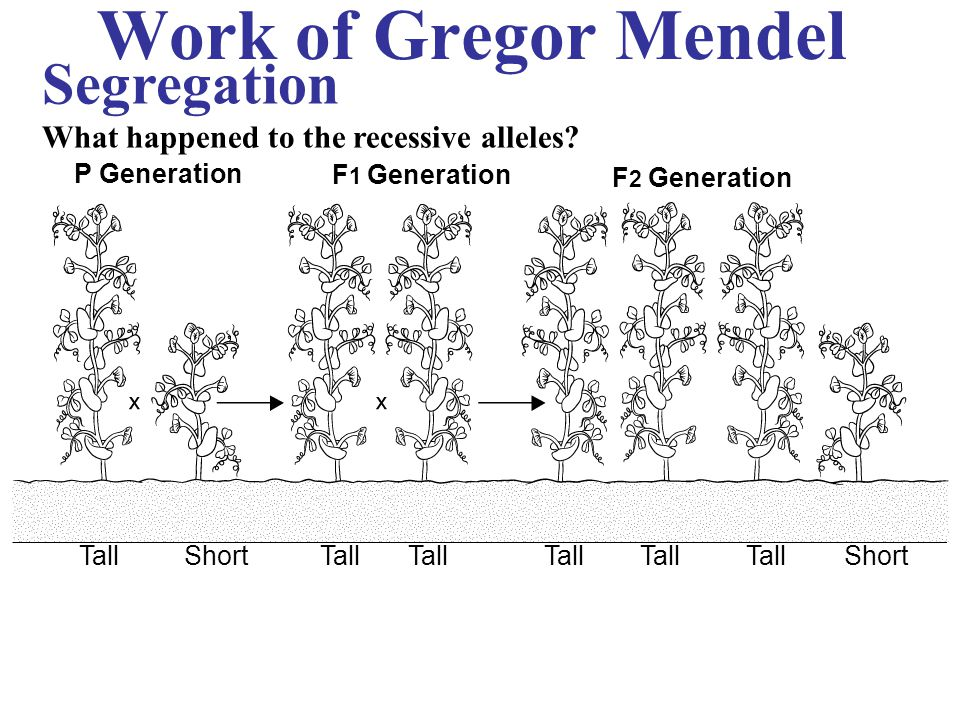 Work of Gregor Mendel Segregation