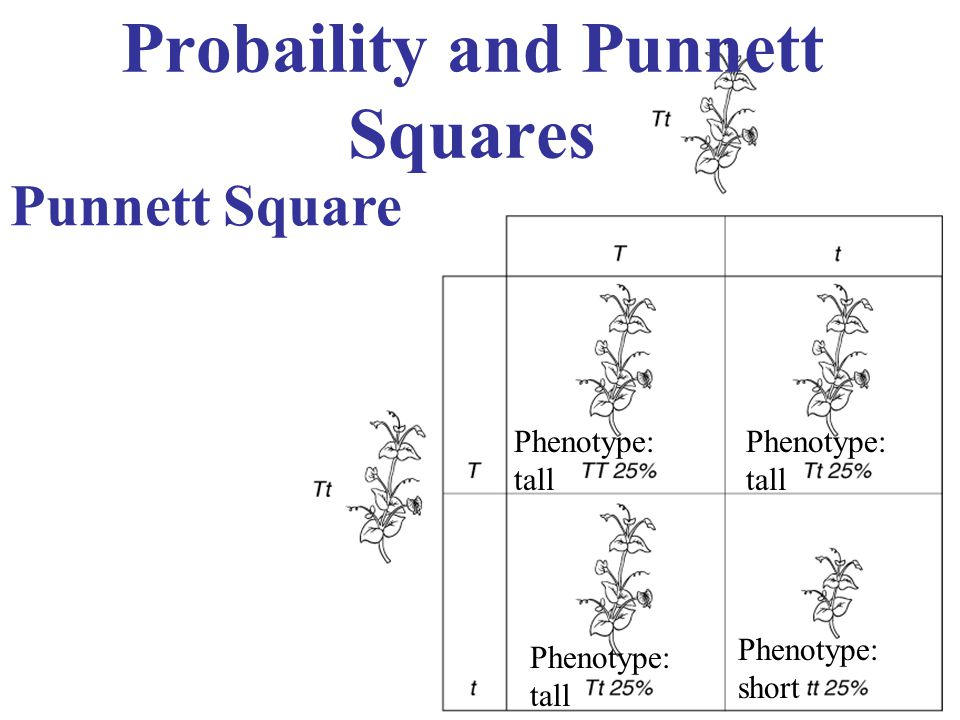 Probaility and Punnett Squares