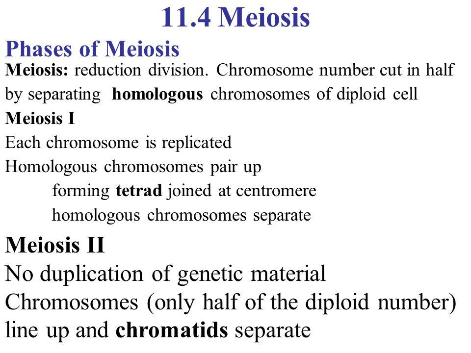 11.4 Meiosis Phases of Meiosis Meiosis II