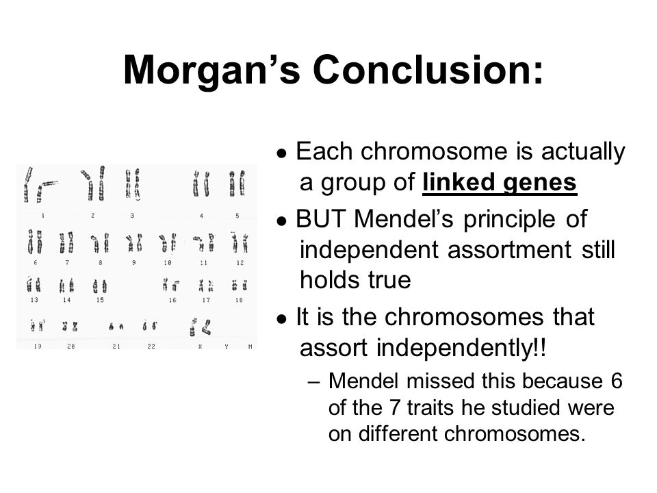 Morgan's Conclusion: ● Each chromosome is actually a group of linked genes. ● BUT Mendel's principle of independent assortment still holds true.