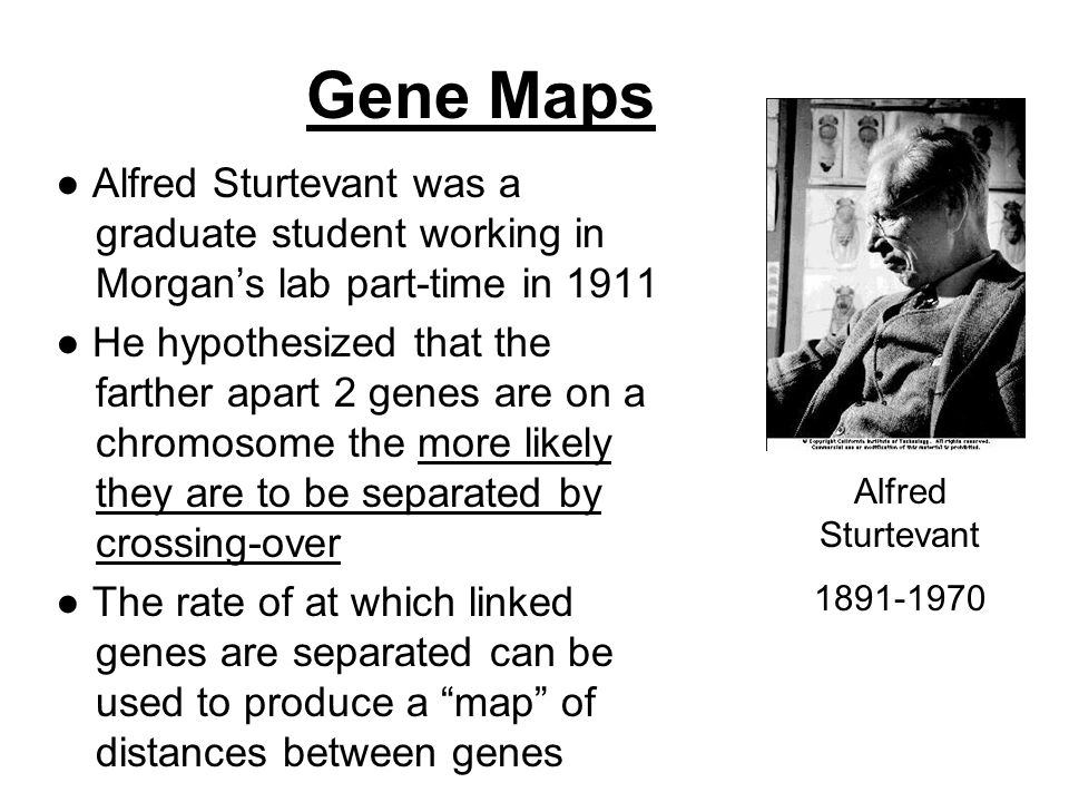 Gene Maps ● Alfred Sturtevant was a graduate student working in Morgan's lab part-time in