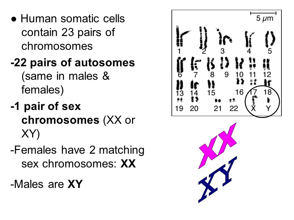 XX XY ● Human somatic cells contain 23 pairs of chromosomes