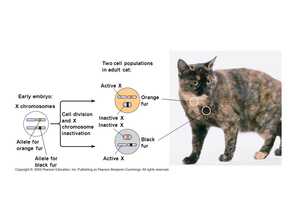 Two cell populations in adult cat: Active X. Early embryo: Orange. fur. X chromosomes. Cell division.