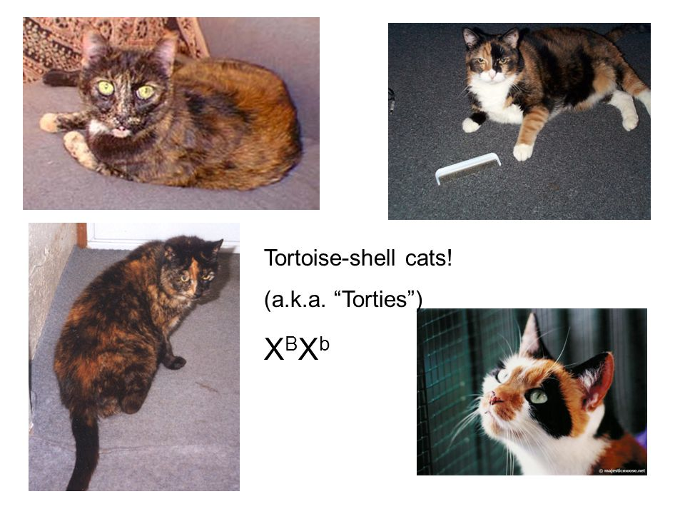 Tortoise-shell cats! (a.k.a. Torties ) XBXb