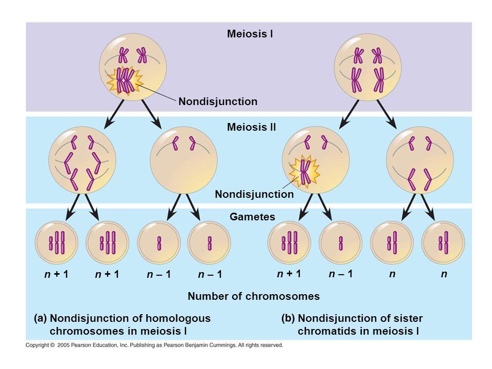 Meiosis I Nondisjunction. Meiosis II. Nondisjunction. Gametes. n + 1. n + 1. n – 1. n – 1. n + 1.