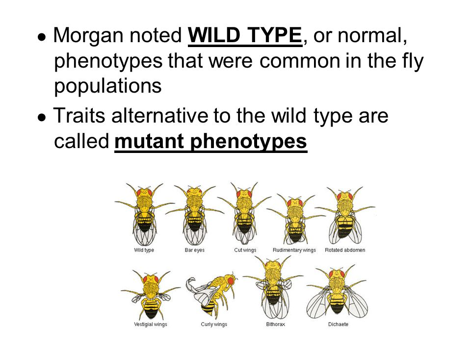 ● Morgan noted WILD TYPE, or normal, phenotypes that were common in the fly populations