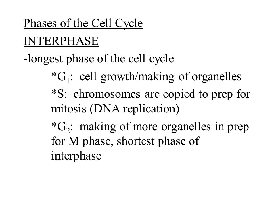 Phases of the Cell Cycle INTERPHASE -longest phase of the cell cycle