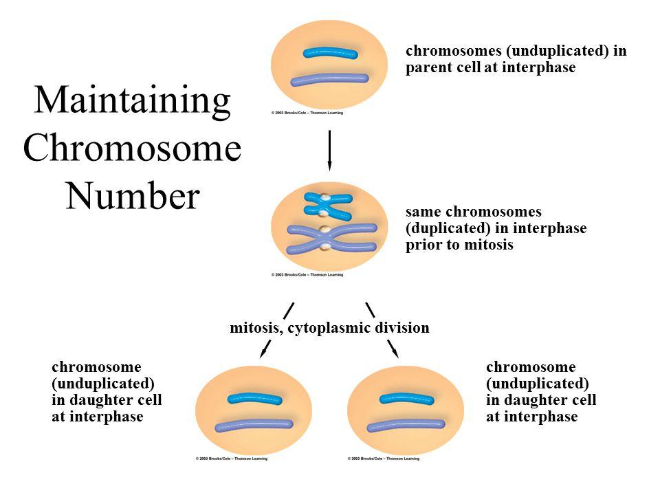 Maintaining Chromosome Number