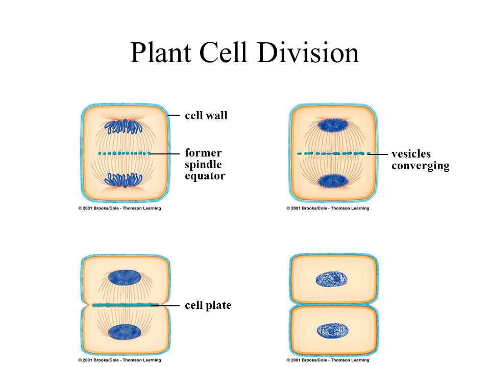 Plant Cell Division cell wall former spindle equator